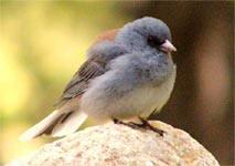 Testosterone khiến chim sẻ sống nhanh, chết sớm