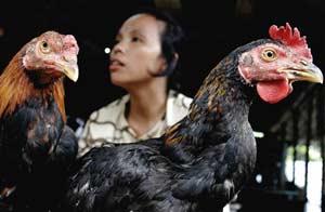 Indonesia: Hai ngày rưỡi có 1 người chết vì H5N1