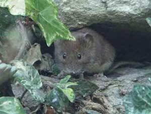 Chuột nhận biết tuổi tác nhau như thế nào?