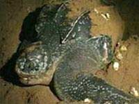Nha Trang: tổ chức hoạt động bảo vệ rùa biển