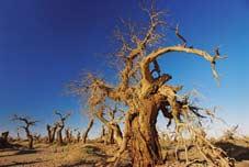 Hồ dương (Populus diversifolia) - Cây trồng đất mặn.