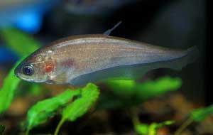 Kỹ thuật nuôi cá thát lát
