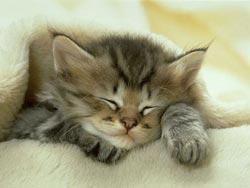 Nhân giống mèo không gây dị ứng