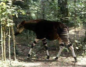 Tái phát hiện sinh vật hiếm giống hươu cao cổ ở Congo