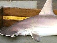 Thêm một loài cá mập được tìm thấy trong tự nhiên