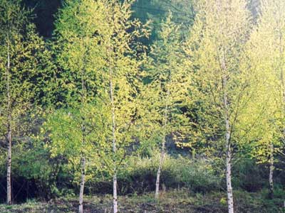 Bạch dương (Betula platyphylla) - Cây người đẹp