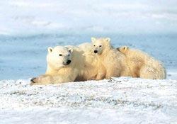 Gấu trắng thành kẻ ăn thịt đồng loại