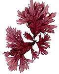 Nuôi tảo Platensis ở Bình Thuận