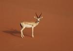 Loài linh dương sa mạc thu nhỏ tim và gan để sinh tồn