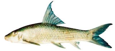 Nguy cơ tuyệt chủng 4 loài cá quý ở sông Hồng