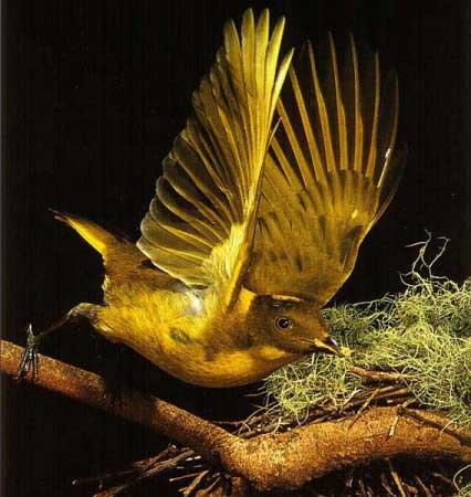 Chim đinh viên - Ptilonorhynchidae