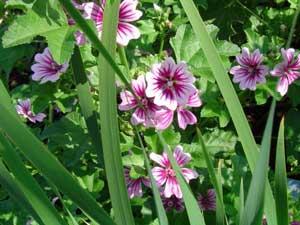 Hoa cẩm quỳ