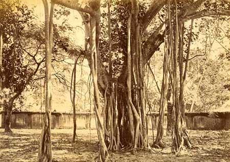 Những cây cổ thụ nổi tiếng nhất thế giới