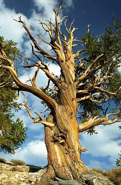 Cây thông Bristlecone trong sa mạc White Mountains