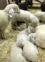Cừu con nhận mẹ trong đám đông bằng cách nào?