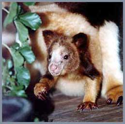Gấu túi thơm (Dendrolagus)