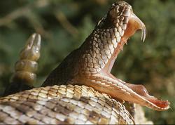 Nọc rắn độc có thể chữa bệnh tim và ung thư