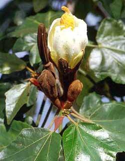 Cây gỗ bấc (Ochroma lagopus) - Cây nhẹ nhất