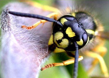 Ong bắp cày truyền tin cho nhau như thế nào?