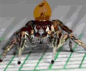 Ca múa - cách khêu gợi của nhện nhảy