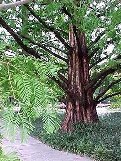 Thủy Sam - Metasequoia glyptostroboides