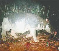 Tê giác ở vườn Quốc gia Cát Tiên đang bị đe dọa