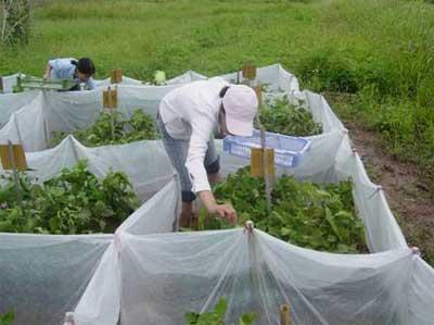 Thả nhện bắt mồi vào ruộng trồng cây đậu