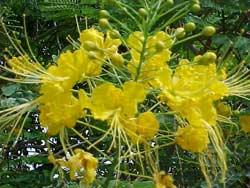 Huế: Phượng vàng nở hoa