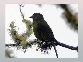Hơn 500 loài chim trên thế giới bị tuyệt chủng