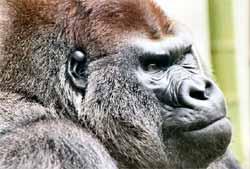 Tại sao khỉ đột ăn gỗ mục?