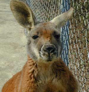 Tìm thấy bằng chứng 'kangaru sát thủ'