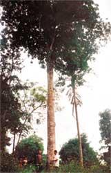 Phát hiện cây chè đắng lớn nhất Việt Nam