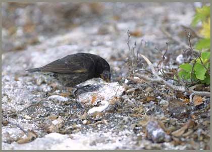 Chim sẻ đất lớn - Geospiza magnirostris