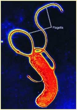 Vi khuẩn đường ruột xuất hiện từ 11.000 năm trước?