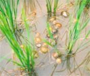 Diệt ốc bươu vàng bằng thuốc chế từ cây cỏ