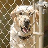 Chó cũng bị stress vì tiếng sủa