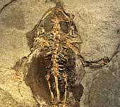 Tìm thấy mô mềm trong hoá thạch ếch