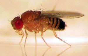 Nghiên cứu ruồi giấm có thể giúp con người sống khỏe trên vũ trụ