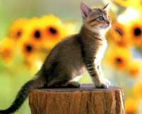 Mèo luôn tiếp đất bằng chân