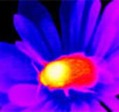 Ong dự đoán được nhiệt độ bông hoa