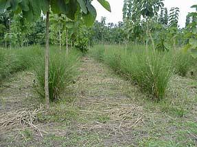 Giữ độ phì cho đất trồng cây lâu năm