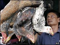 Số tử vong vì cúm gà ở Indonesia tăng