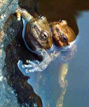 """Loài ếch lại được xếp hạng nhất về tính """"lãng mạn"""" trong tình ái"""