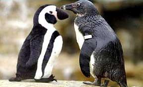 Thủy chung như... chim cánh cụt