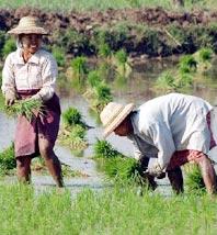 Phát hiện gene giúp cây lúa chịu được ngập úng