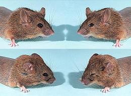 Lùi ngược sự tiến hoá ở chuột.