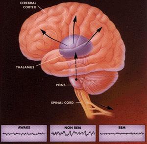 Giấc ngủ REM, tác động tới các cấu trúc não điều khiển các cơ quan nội tạng