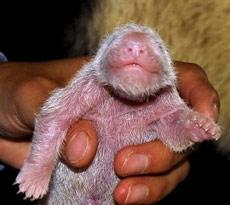 Trung Quốc: Cho gấu trúc đẻ con trong môi trường nuôi thành công