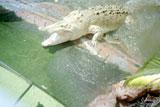 Chú cá sấu bạch tạng
