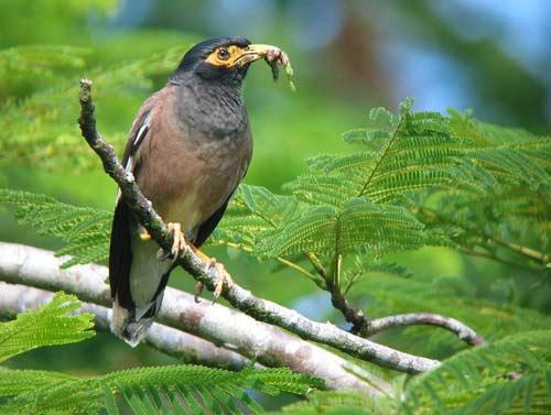 3 loài chim xâm hại nguy hiểm nhất trên thế giới